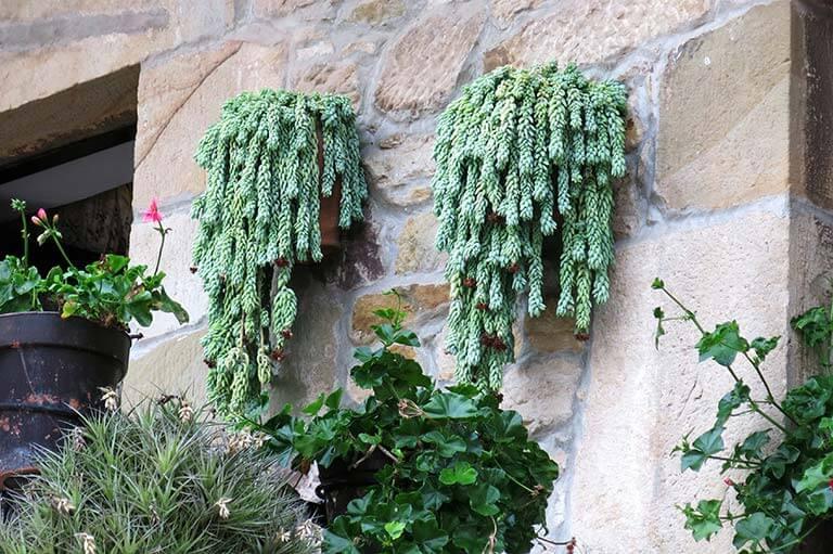 Cactus de Liérganes (Sedum Morganianum) , Lierganes, Cantabria